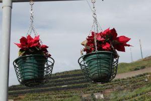 Camara de Lobos Christmas flowers