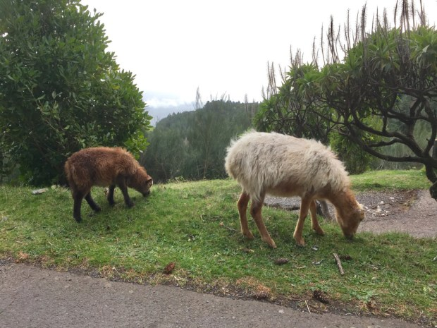Sheep on the road Funchal to Pico do Arieiro