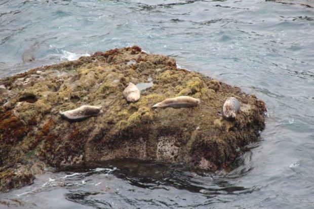 Seals along California's coastal highway 1