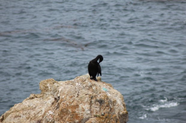 Californian sea bird along Highway 1