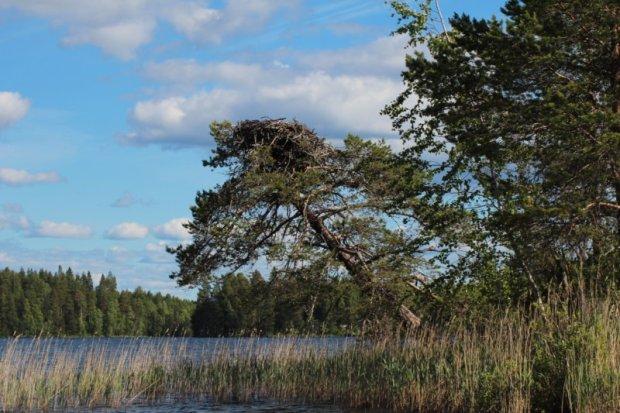Southern Konnevesi National Park osprey nest