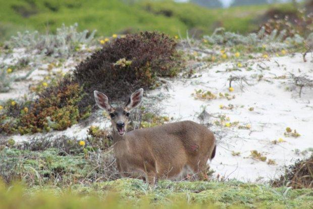 17-Mile Drive deer