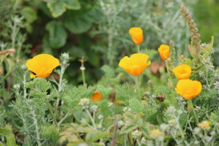 Point Lobos poppies