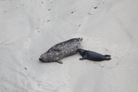Point Lobos seals