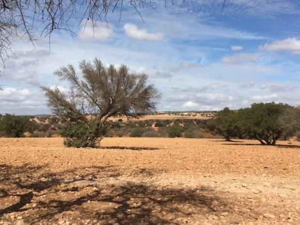 Essaouira argan trees