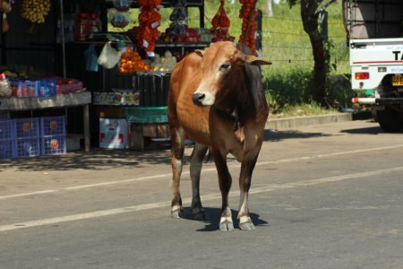 Cow on Kalpitiya main road, Sri Lanka