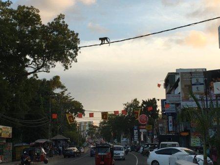 Anuradhapura monkey crossing the street