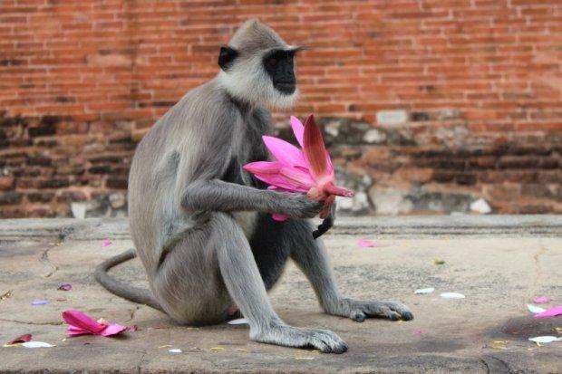 Jetavanarama Dagoba monkey, Sri Lanka's ancient cities