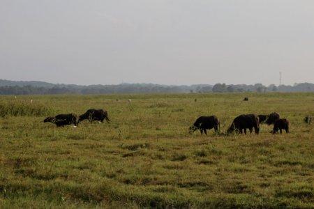 Kaudulla National Park buffaloes