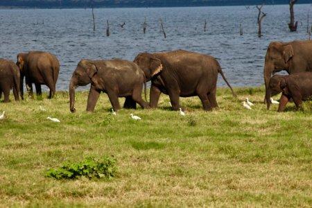 Kaudulla National Park elephants by the lake