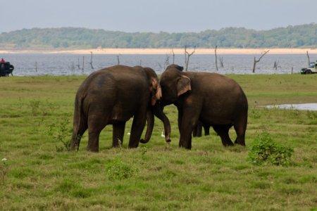 Kaudulla National Park elephants fighting