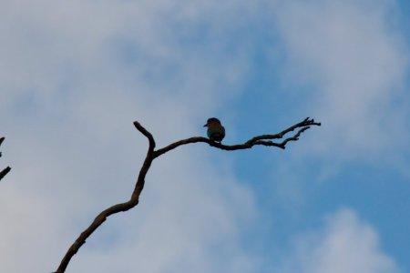 Kaudulla National Park kingfisher