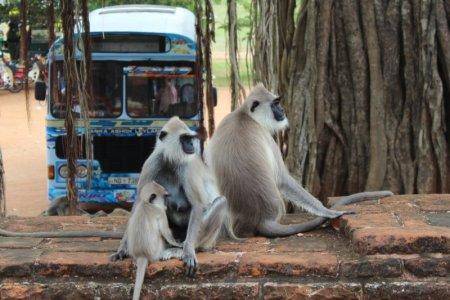 Monkey family in Anuradhapura