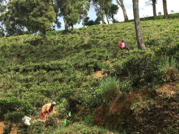 Picking firewood in Sri Lanka tea country