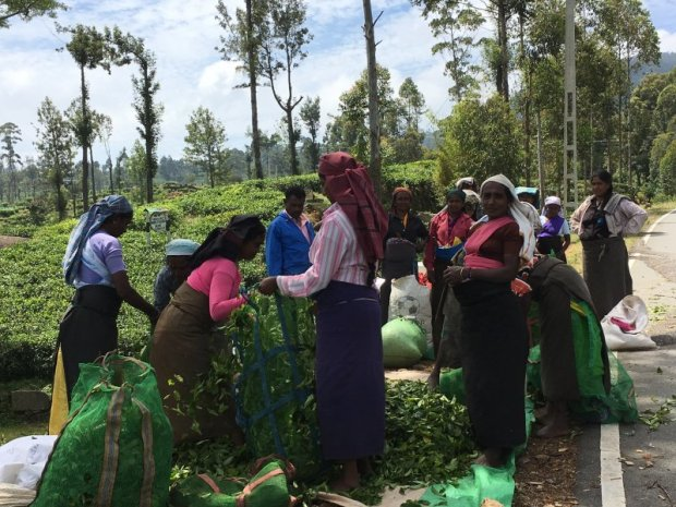 Tamil women picking Ceylon tea leaves
