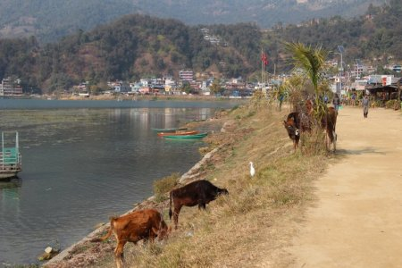 Cows by Lake Phewa