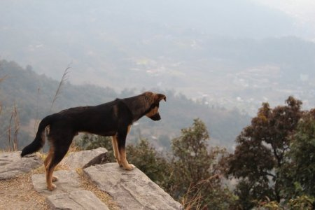 Nepalese stray dog