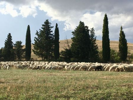 Touring Tuscan countryside by rental car: Val d'Orcia sheep