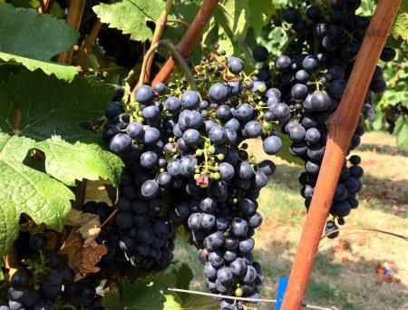 Emilia Romagna grapes