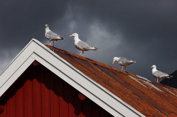 Reine seagulls, Lofoten