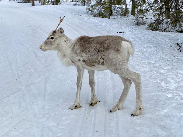 Arctic Lapland spring: a reindeer on the ski track