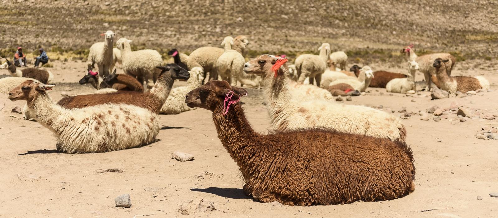 Lamas près du Canyon de Colca, Pérou - Voyage organisé en petit groupe offert par l'agence de voyage Les routes du Monde