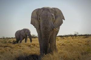 Eléphant, Etosha, Namibie - les Routes du Monde