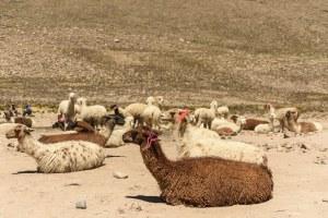 Lamas entre Arequipa et le Canyon de Colca, pérou - Les Routes du Monde