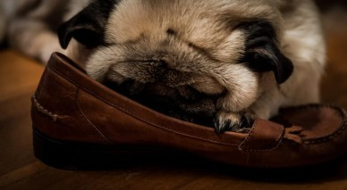 Pug with slipper shoes.