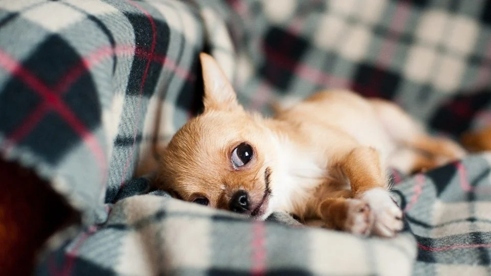 Chihuahua Puppies: Everything You Need to Know | The Dog People by Rover.com