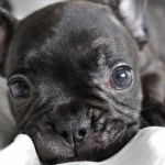 French Bulldog Puppies Everything You Need To Know The Dog People By Rover Com