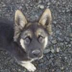 183 Top German Shepherd Dog Names Of 2020 By Popularity
