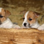 Jack Russell Terrier Puppies Everything You Need To Know The Dog People By Rover Com