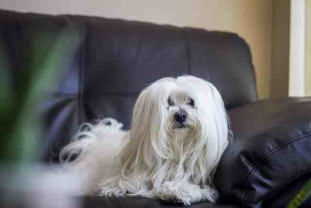 the top 5 maltese haircut styles for 2019 | the dog people