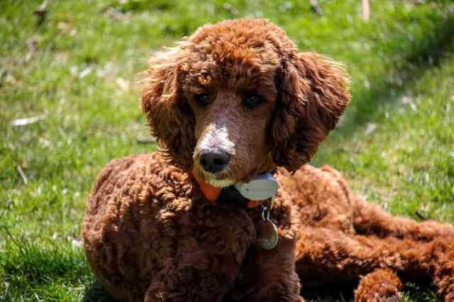 5 top poodle haircut styles for 2019 | the dog people by