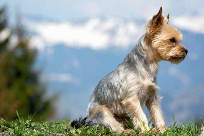 top 5 yorkie haircut styles for 2019 | the dog people by