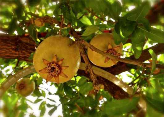 Pomegranate growing on a tree Bodrum Turkey