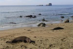 Birthing Season for Elephant Seals at San Simeon California