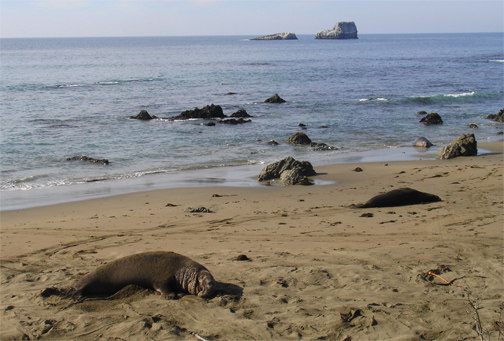 Elephant Seal Rookery in San Simeon California