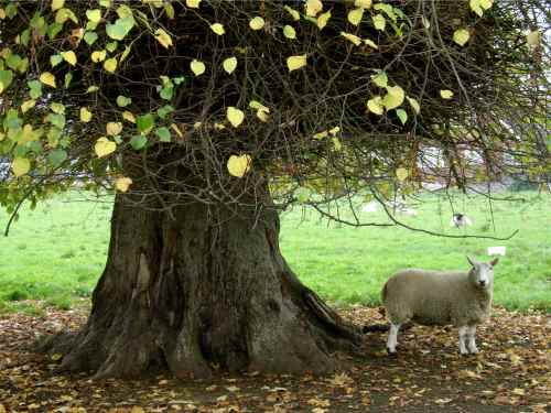 Sheep under a big tree