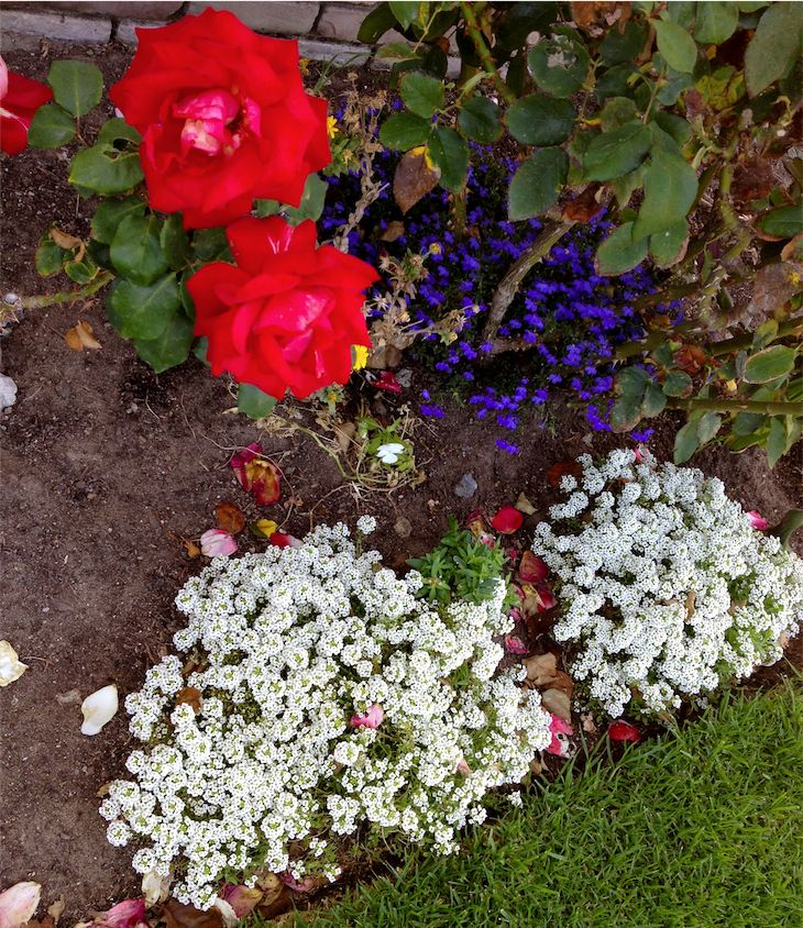 Red White and Blue Flowerbed for 4th of July