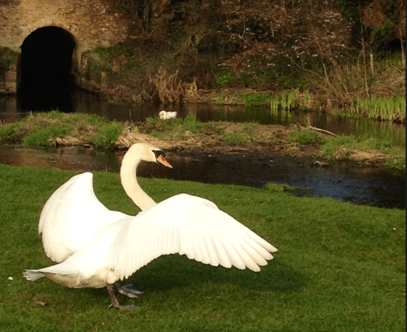 Swan with his wings out running towards the river