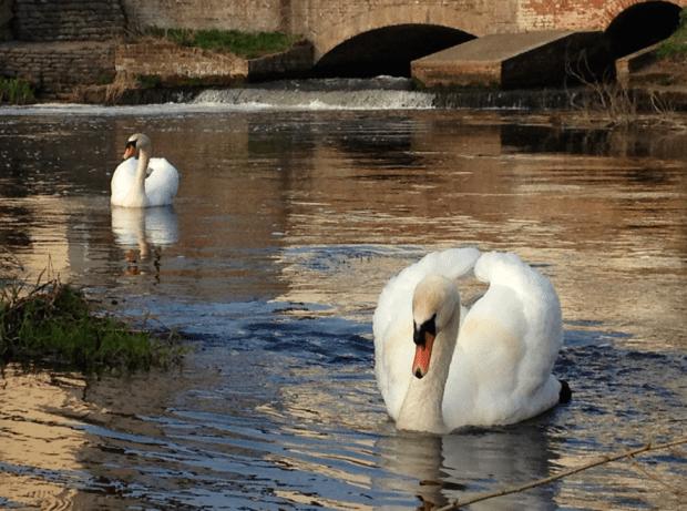 Pair of Swans on River Bure Norfolk