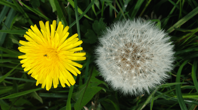 Dandelion in Norfolk