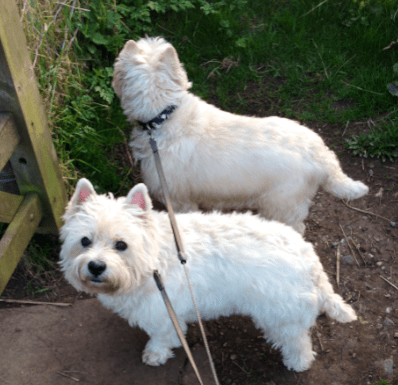 Mack and Beth two West Highland Terriers House Sitting