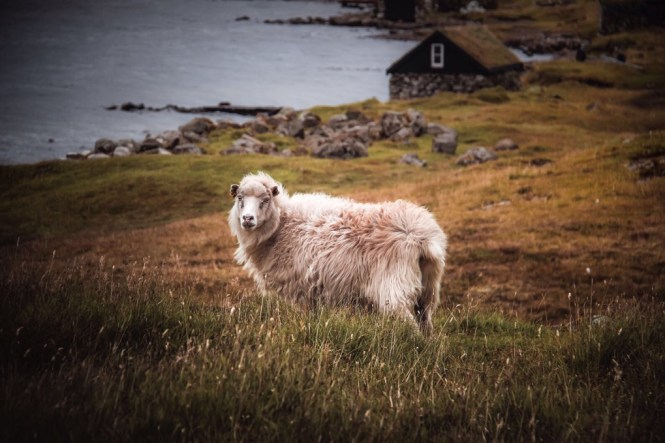 Sheep in The Faroes