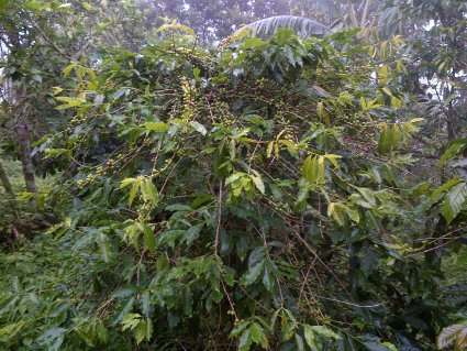 Coffee Growing in the Hurricane