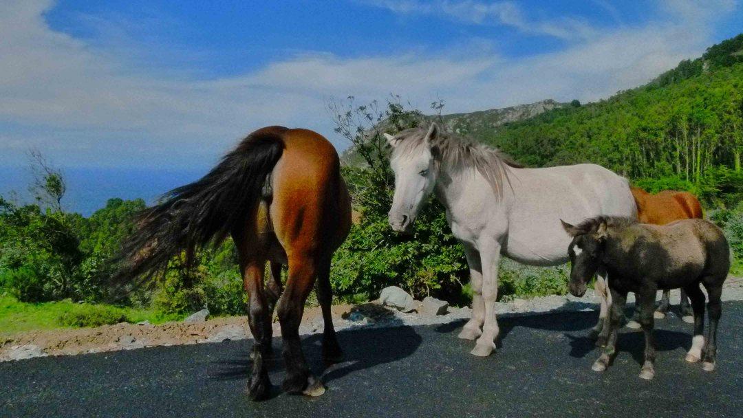 chevaux galice