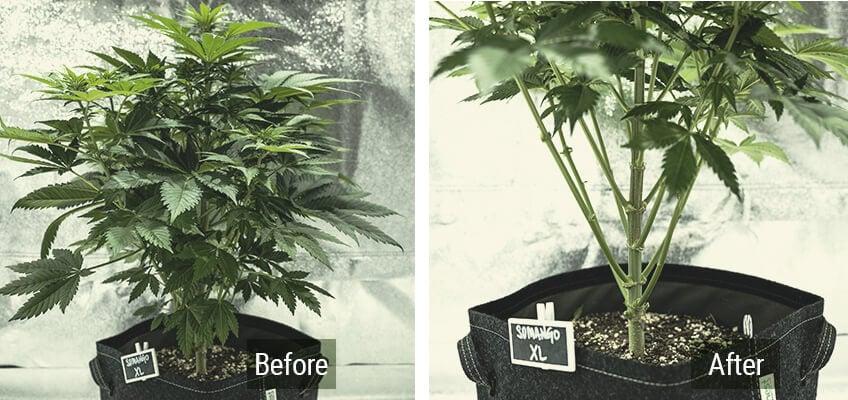 前後のロリポップ大麻植物