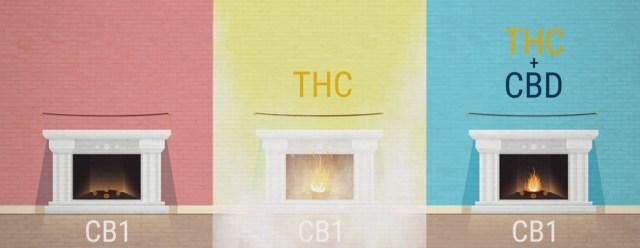 The Entourage Effect on Cannabis THC CBD